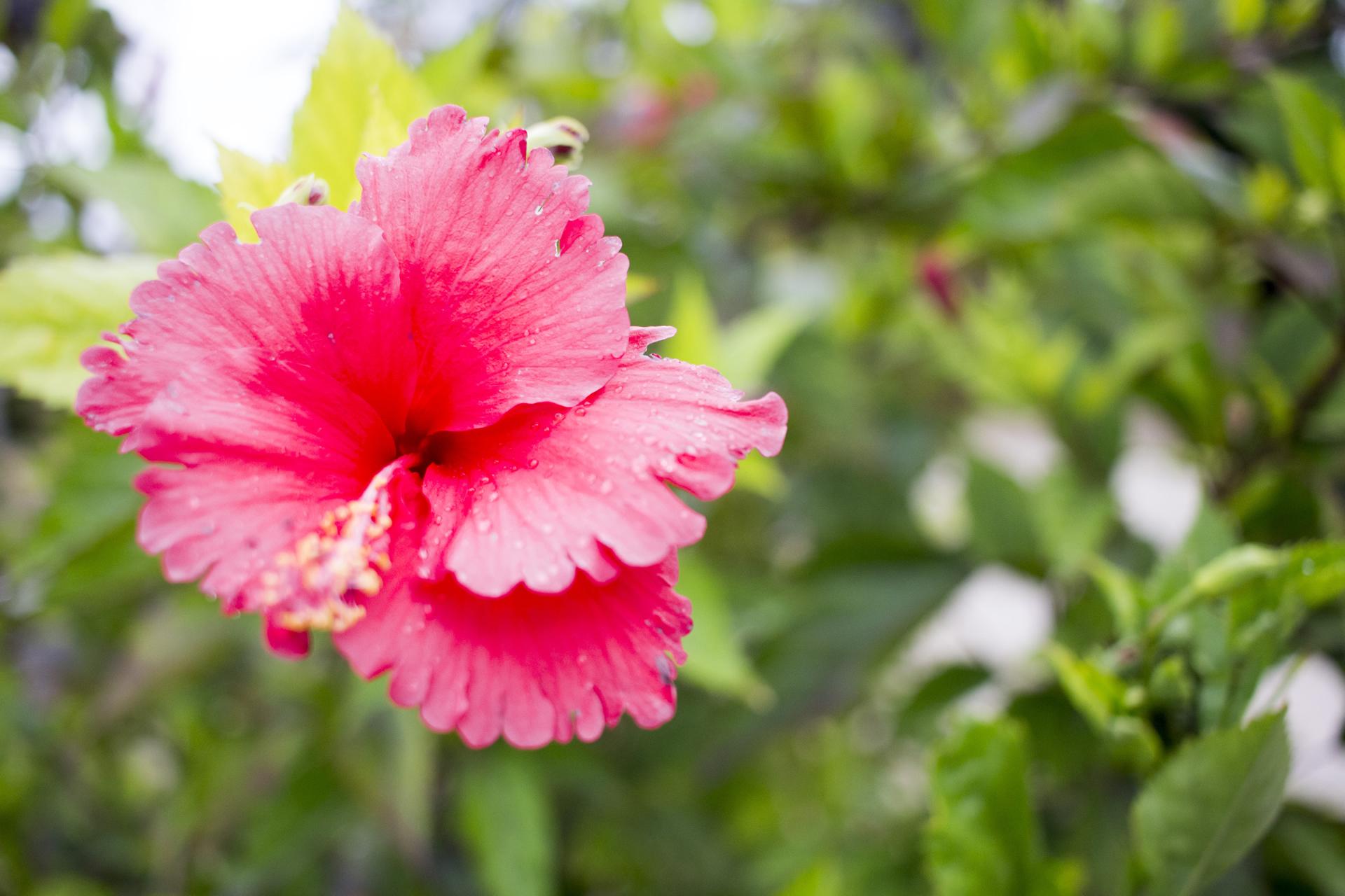沖縄・宮古島「アイランドテラスニーラ」に咲いたハイビスカス