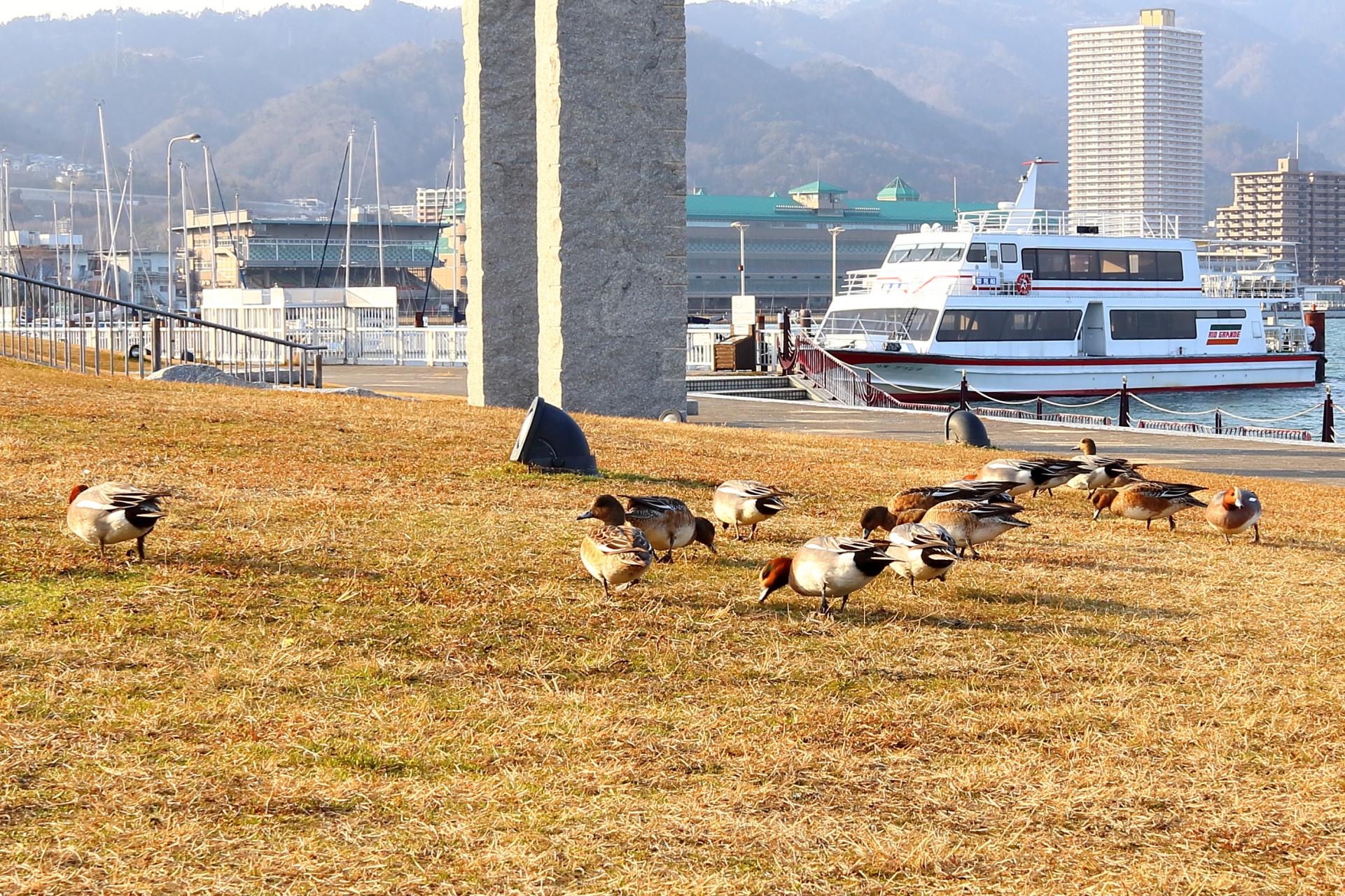 滋賀・大津港の鴨