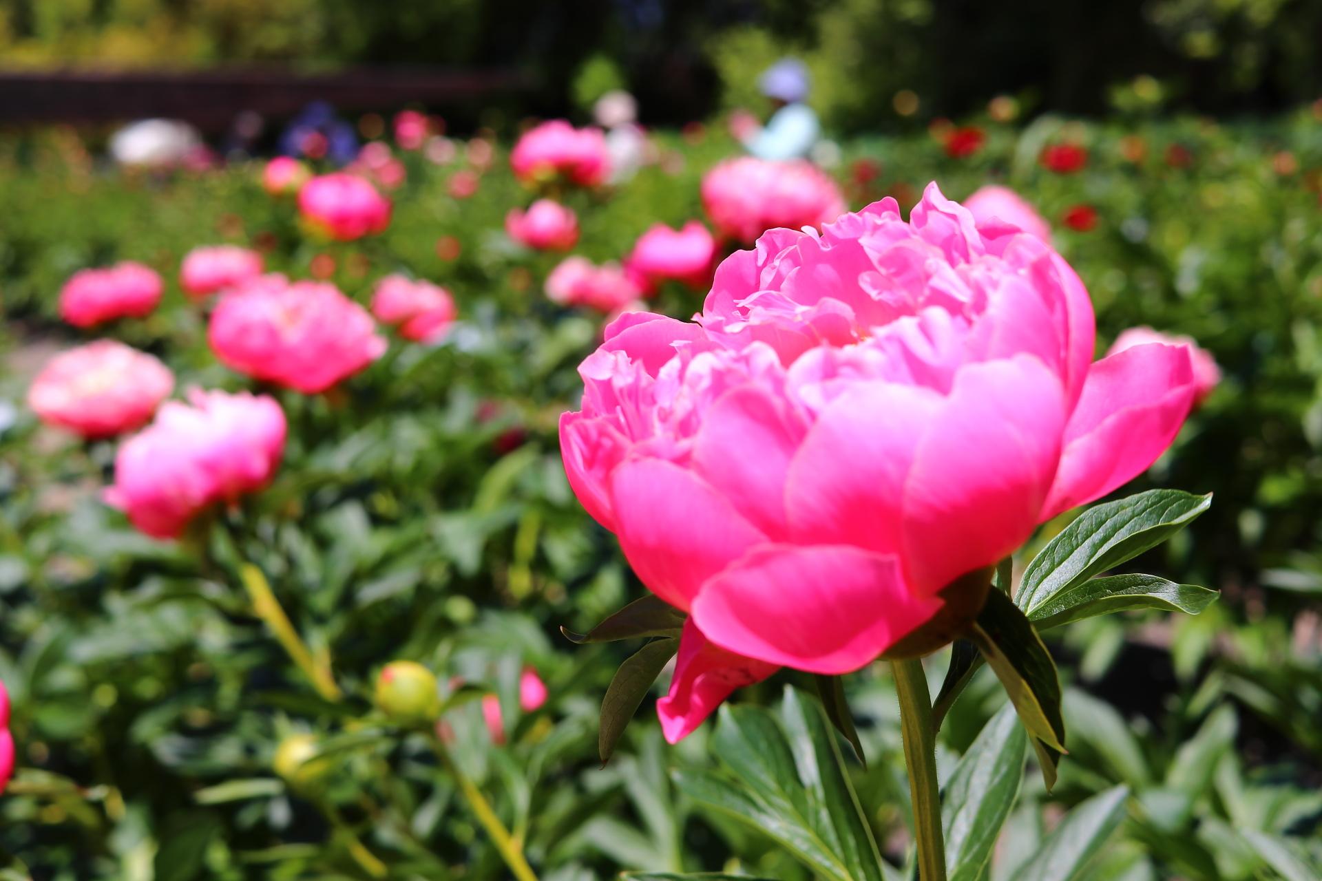 京都府立植物園(薔薇)