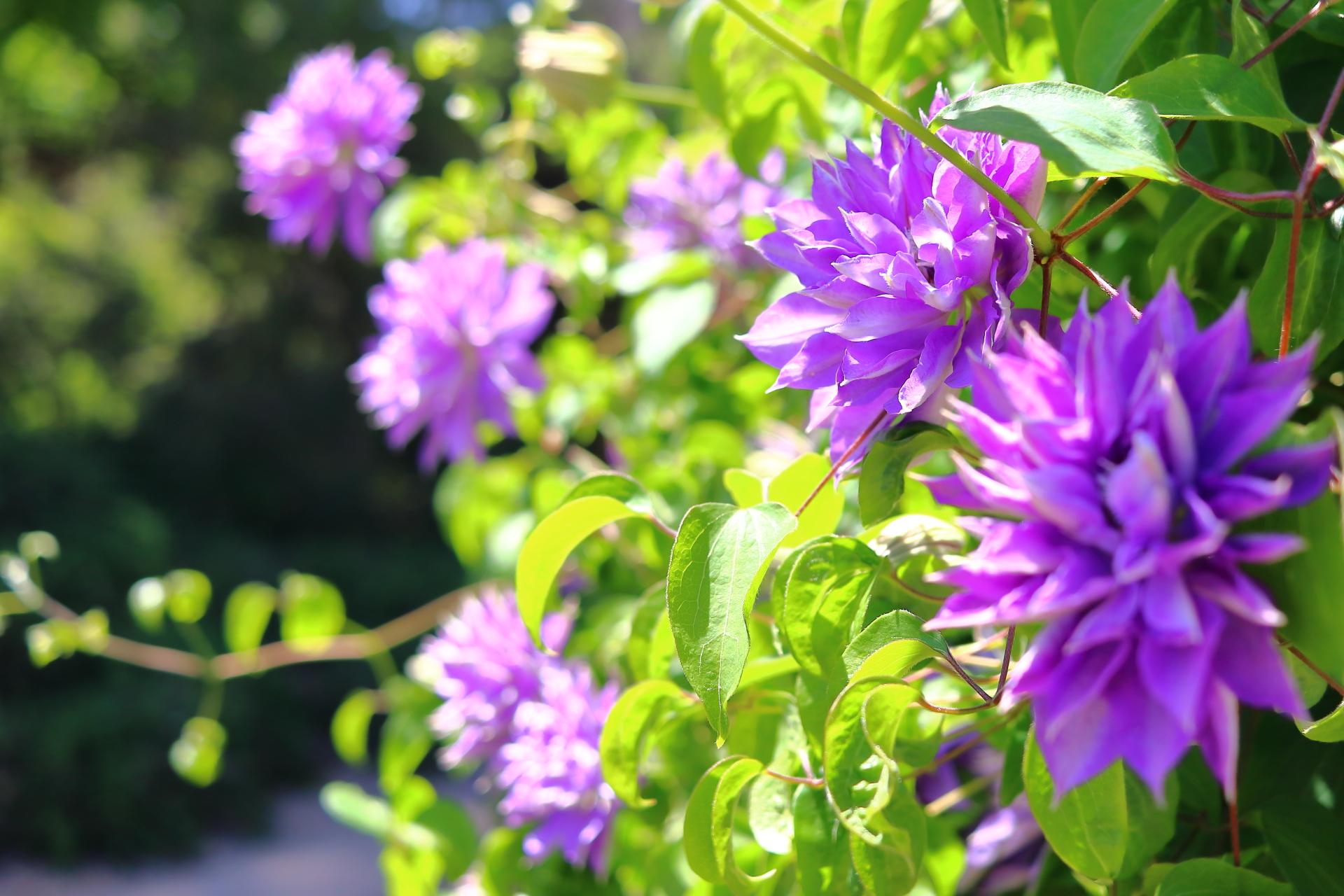 京都府立植物園 5月 春 紫の花
