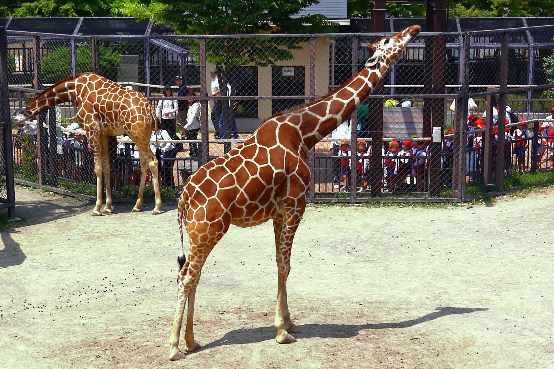 Kyoto City Zoo 京都市動物園(京都・岡崎)の麒麟