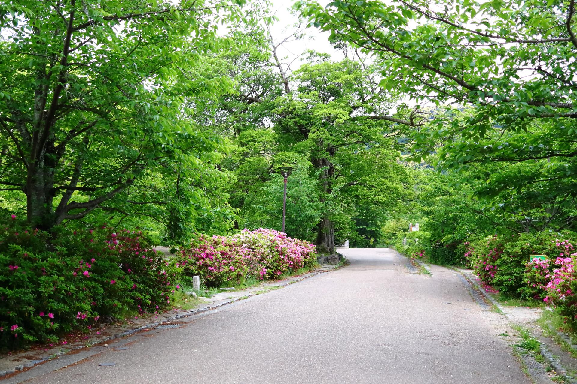 京都市・円山公園(明治19年誕生、京都市で最も古い公園)面積86,641平方メートル