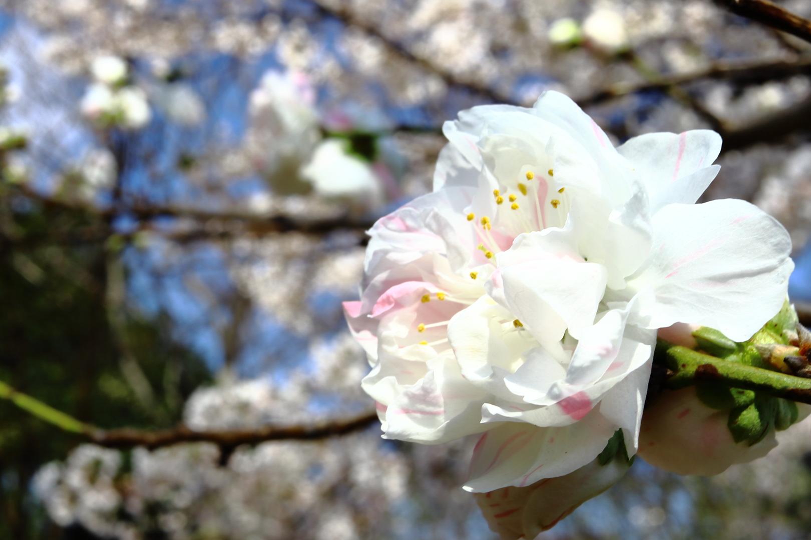 福岡・筑前の小京都・秋月に咲くソメイヨシノ