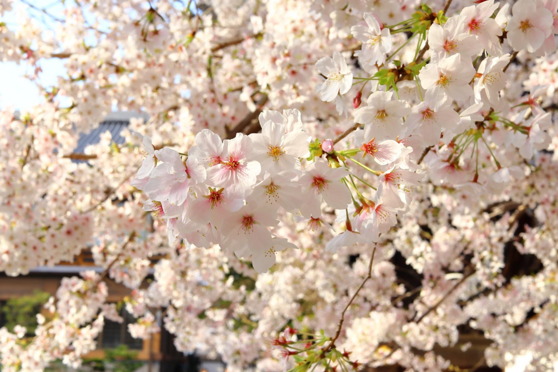 真宗佛光寺派本山「佛光寺」(京都市下京区)の桜