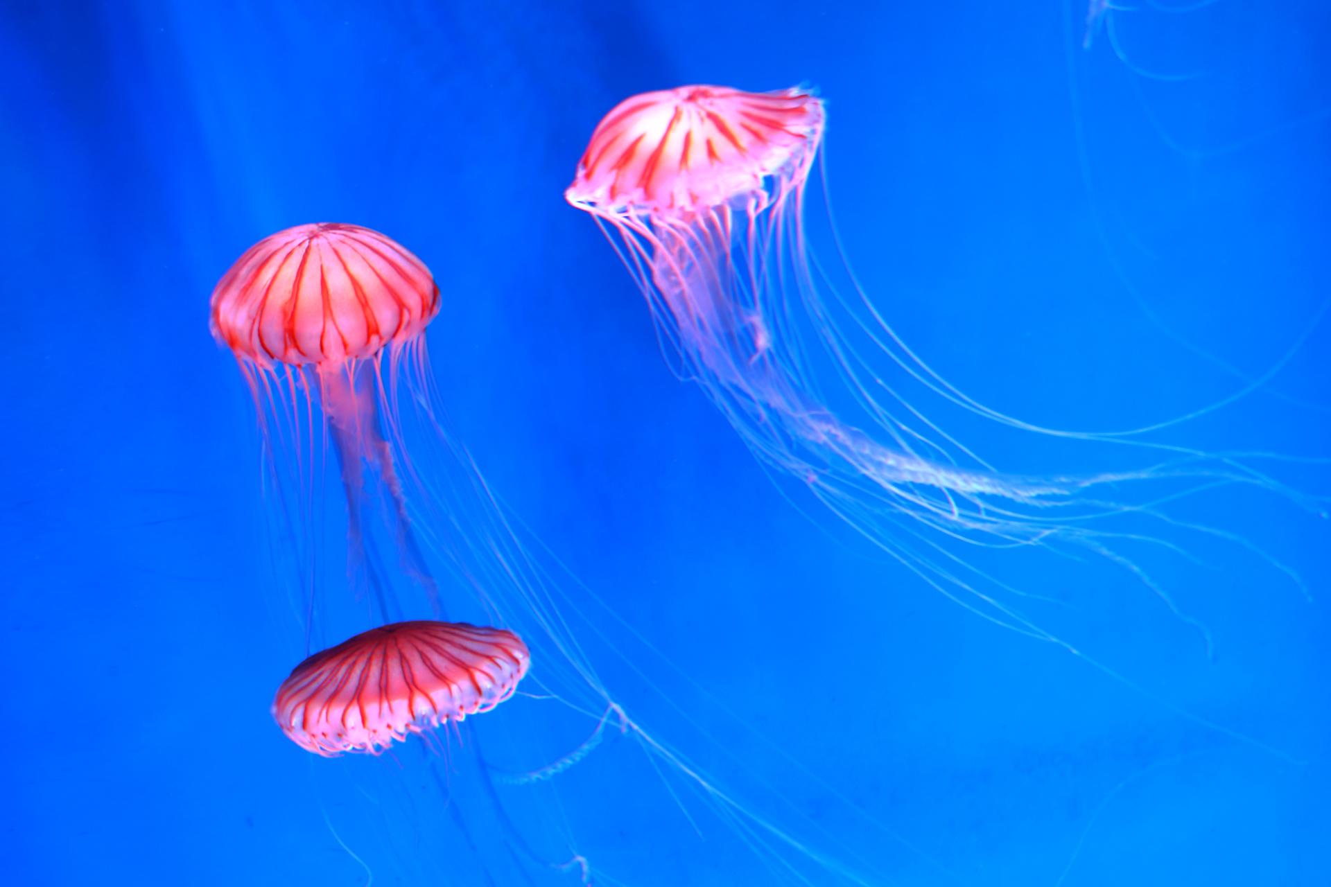 アカクラゲ(放射状の褐色の縞模様が16本走った直径9-15cmほどの傘と、各8分画から5-7本ずつ、合計で40-56本伸びる長さ2m以上の触手)