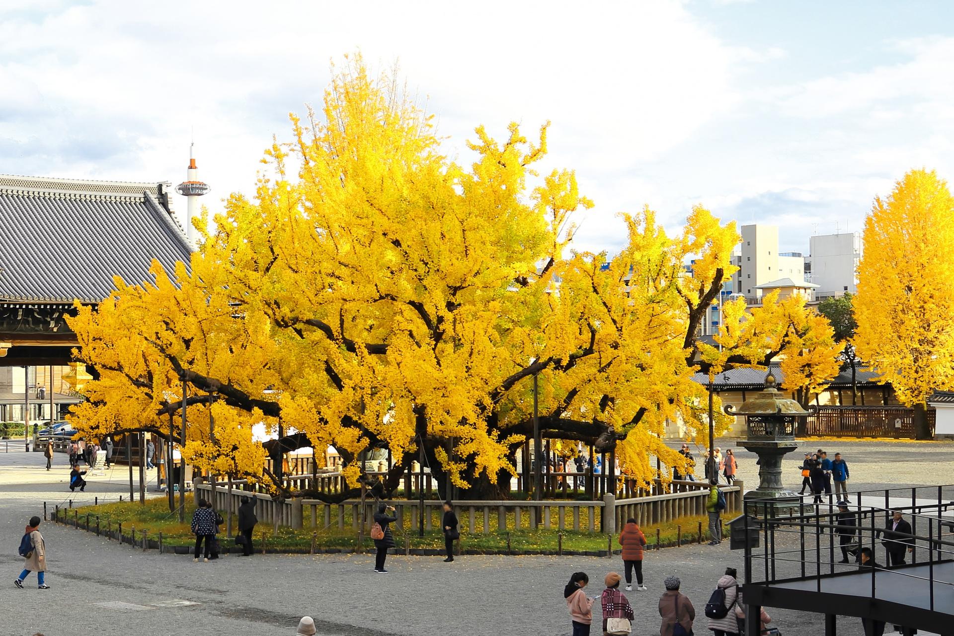 京都・西本願寺 天然記念物「逆さ銀杏」に京都タワーの蝋燭を添えて