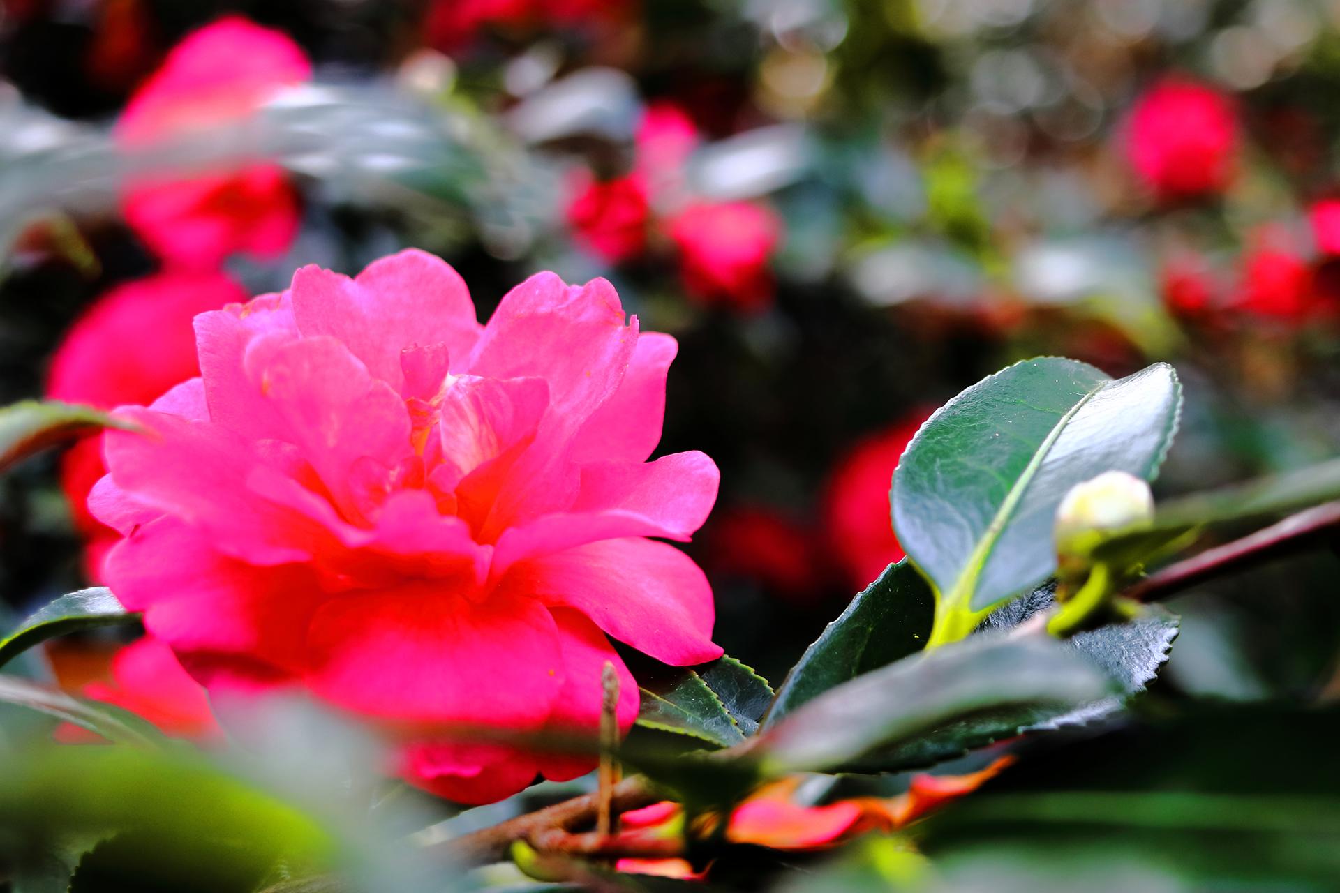 山茶花・サザンカ(ツバキ科ツバキ属の常緑広葉樹 10月~12月)
