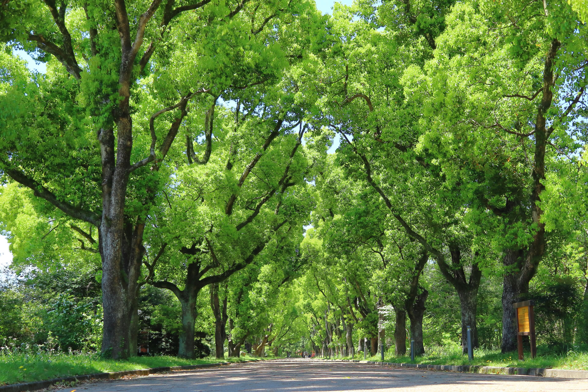 京都府立植物園正門近くの「くすのき並木」